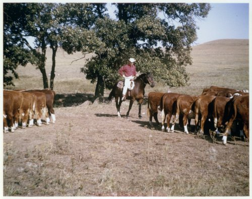 Jim Schwanke moving cattle on horseback - Page
