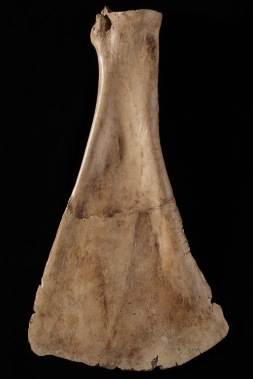 Bison Scapula Hoe from the Minneaspolis Site, 14OT5 - Page