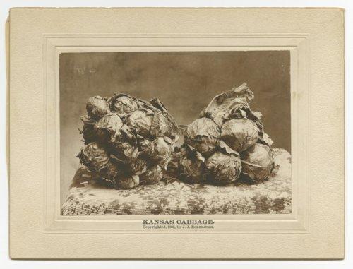 Kansas cabbage - Page