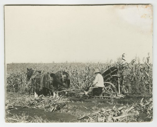 Harvesting corn - Page