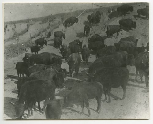 "C. F. ""Buffalo"" Jones' herd - Page"
