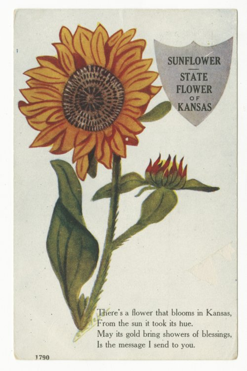 Sunflower state flower of Kansas - Page