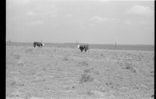 Cattle on the Mills Ranch, Cheyenne County, Kansas - Page