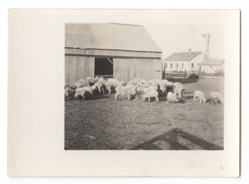 A flock of sheep on the Sewell Tarr ranch in Comanche County, Kansas - Page