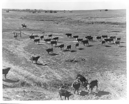 Rounding up cattle on the Bob Perry Ranch - Page