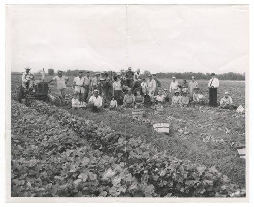 Rollie Clemence sweet potato harvest near Manhattan, Kansas - Page