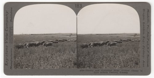 Poland China hogs in an alfalfa pasture near Virgil, Kansas - Page