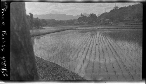 Rice Paddies , Hawaii - Page