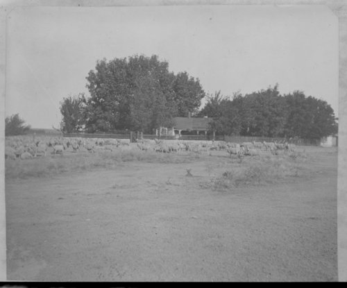 Sheep, John Fenton Pratt ranch, Studley, Sheridan County, Kansas - Page