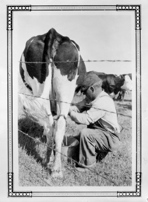 Man milking a cow, Greeley County, Kansas - Page