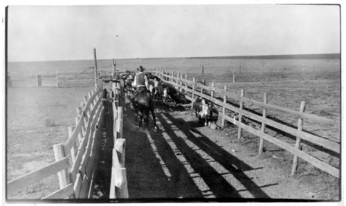 Working cattle on the Liggett ranch southwest of Tribune, Greeley County, Kansas - Page