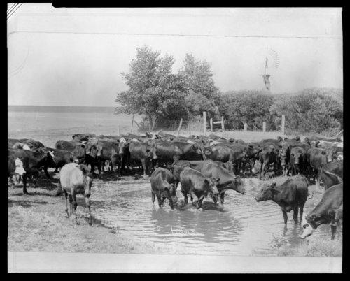 Cattle herd on the Rafter ranch, Greeley County, Kansas - Page