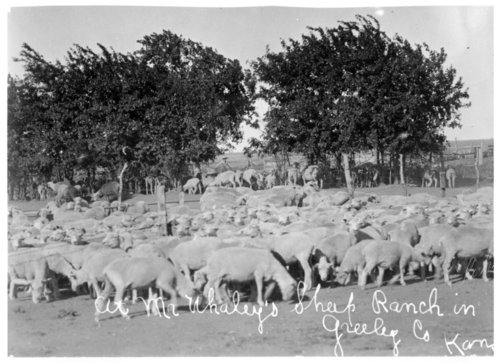 Herd of sheep on the Whaley ranch, Greeley County, Kansas - Page