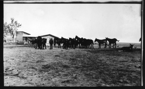 Horse and mule herd, Lane County, Kansas - Page