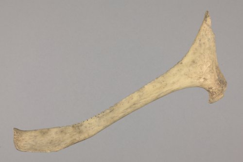 Deer Bone Rasp from the Tobias Site, 14RC8 - Page