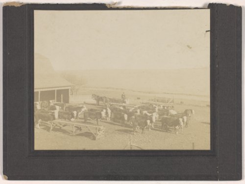 Cattle on the Brosa farm, Jefferson County, Kansas - Page