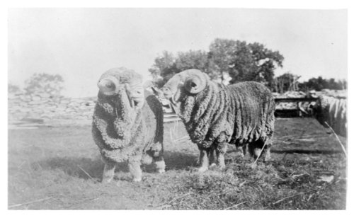 Sheep on the John Fenton Pratt ranch near Studley, Sheridan County, Kansas - Page