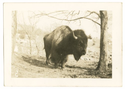 Bison possibly at Fort Riley, Kansas - Page