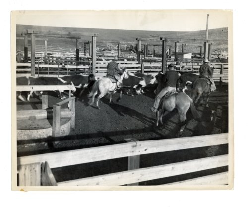Cutting cattle at the Cassoday stock pens, Cassoday, Butler County, Kansas - Page