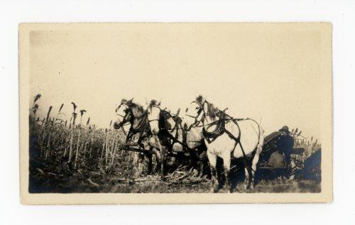 Percherons and farm woman in kaffir field, Butler County, Kansas - Page