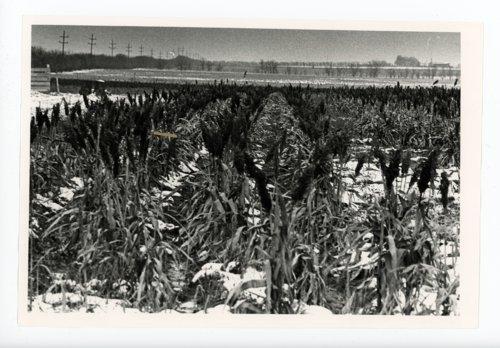 Field of Kaffir Corn, Butler County, Kansas - Page