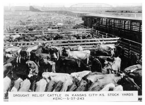 Drought relief cattle in Kansas City, Kansas stockyards - Page