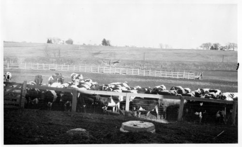 Dairy herd at Haskell Institute in Lawrence, Kansas - Page