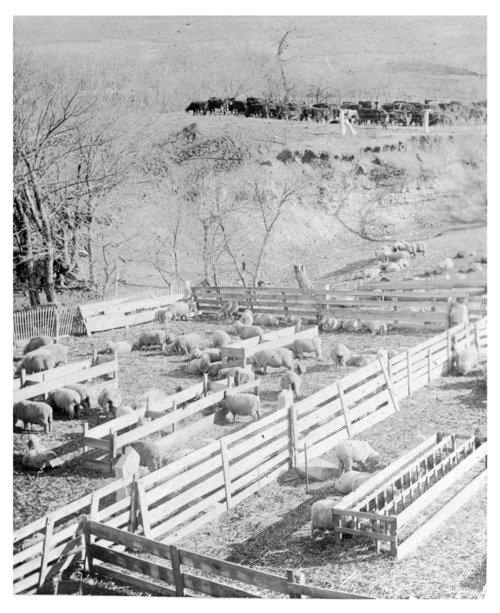Sheep and cattle on John Fenton Pratt ranch, Sheridan County, Kansas - Page