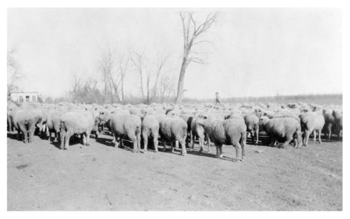 Ernest Bertrand sheep, Logan County, Kansas - Page