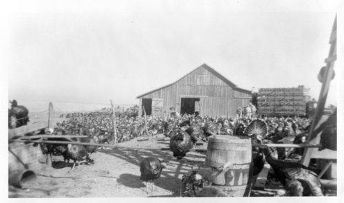 Elmo Hamm's turkey farm, Logan County, Kansas - Page