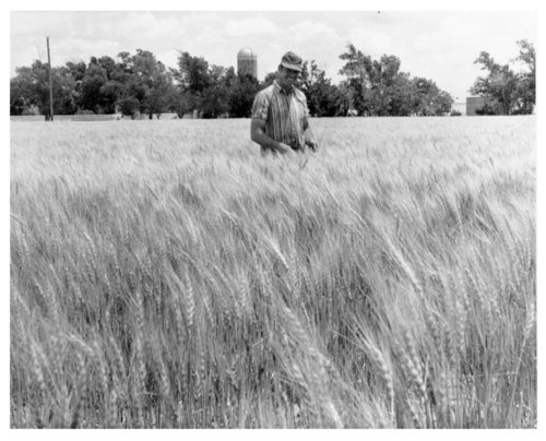 Wheat field, Logan County, Kansas - Page