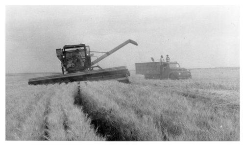 Combining wheat, Logan County, Kansas - Page