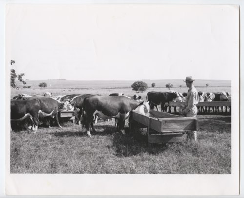 Cattle in Woodson County, Kansas - Page