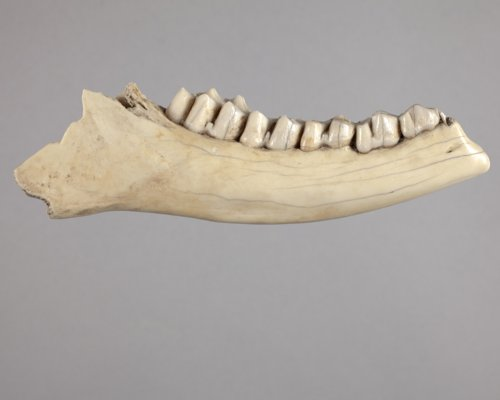Modified Deer Mandible from the Tobias Site, 14RC8 - Page