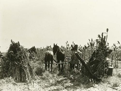 Harvesting Kafir Corn, Comanche County