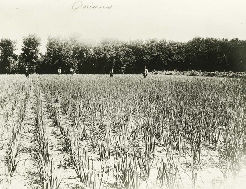 Onion field possibly in Comanche County, Kansas - Page