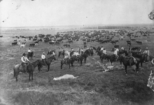 Cattle roundup in Comanche County, Kansas - Page