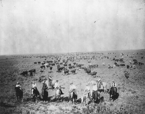 Cattle herd near Englewood, Clark County, Kansas - Page