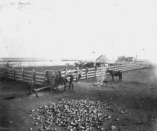 Dehorning cattle near Englewood, Clark County, Kansas - Page