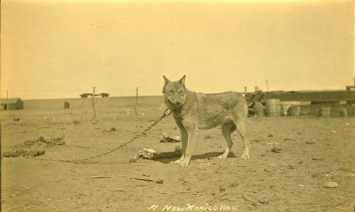Wolf or dog, New Mexico - Page