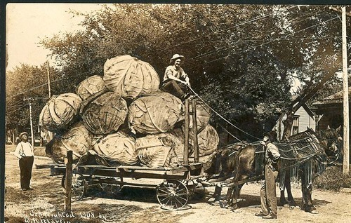 Image of exaggerated postcard showing a horse drawn wagon filled with huge cabbages, 1908