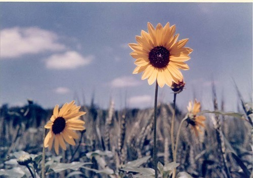 Kansas sunflowers - Page