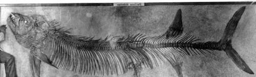 Portheus Molossus fossil, Oakley, Kansas - Page