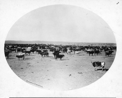 Chain C cattle, Woodward County, Oklahoma Territory - Page