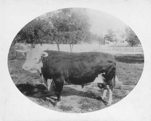 """Columbus,"" Frank Rockefeller's famous Hereford bull, which cost $5,050.00 and weighed 2,200 pounds."