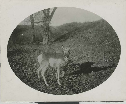 Antelope in Woodward County, Oklahoma Territory - Page