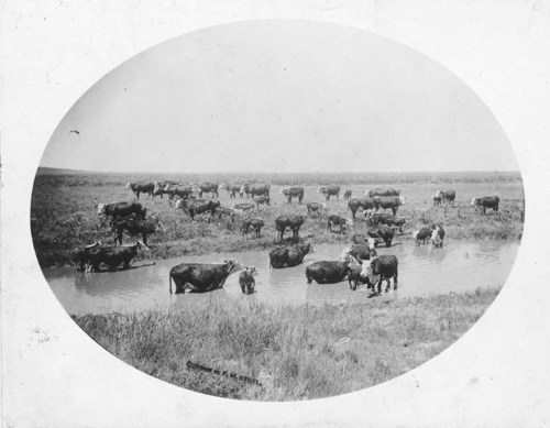 C. D. Perry's thoroughbred Herefords near Englewood, Kansas - Page