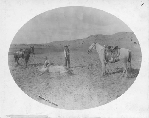 Cattle branding near Arkalon, Kansas - Page