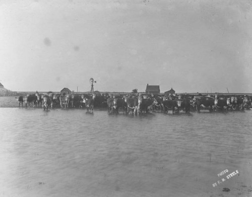 Cattle standing in a farm pond, Haskell County, Kansas - Page