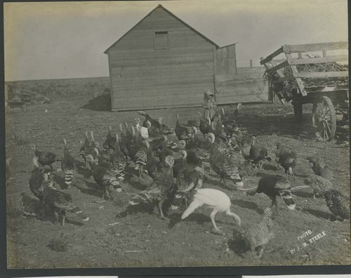 A flock of turkeys - Page